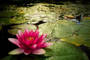 Water Lily por Robert U, en Flickr